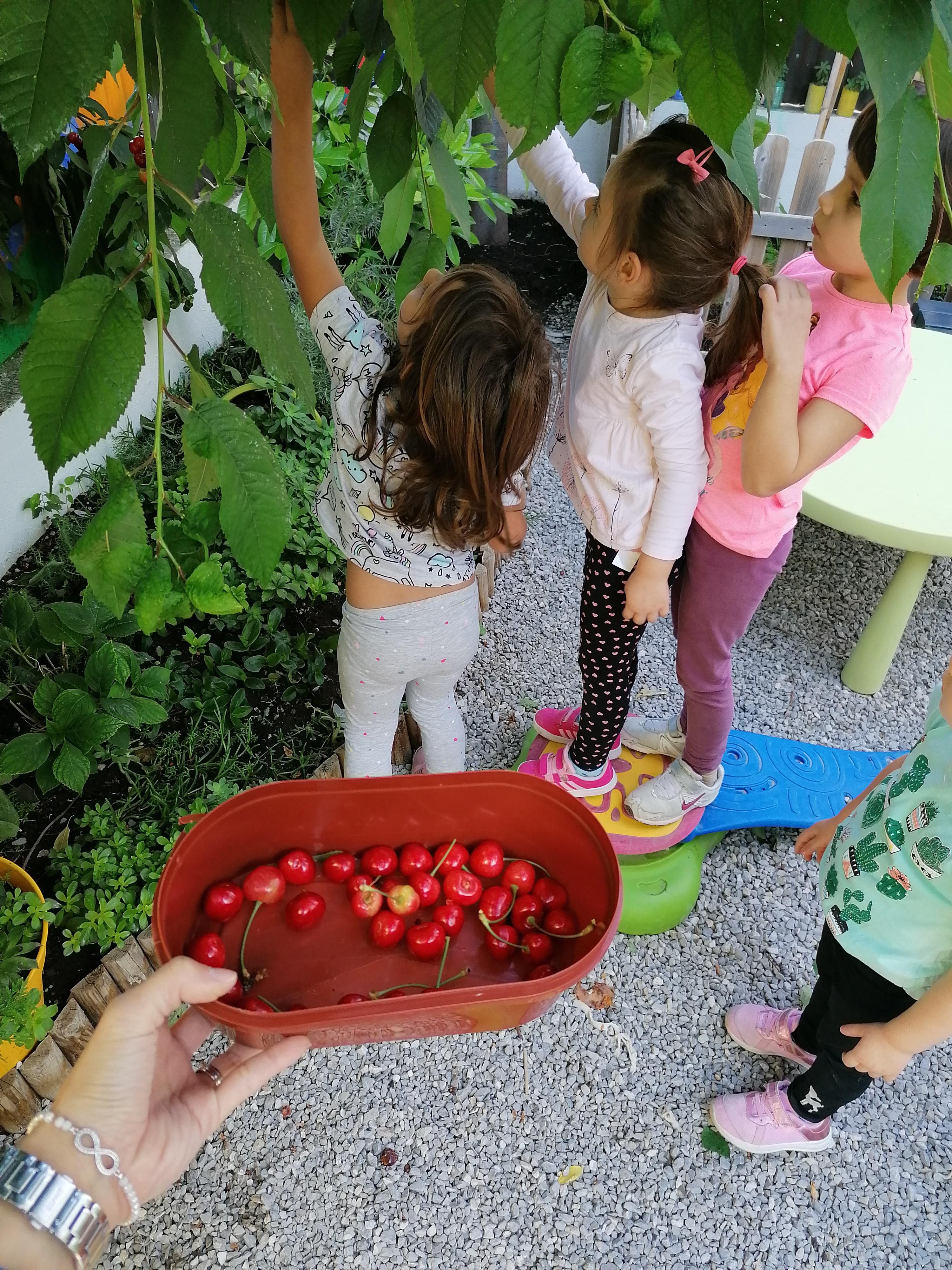 Branje trešanja iz našeg vrta